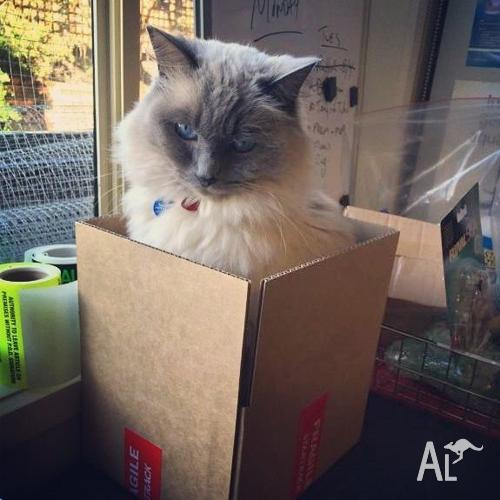 Ragdoll looking for a temporary home