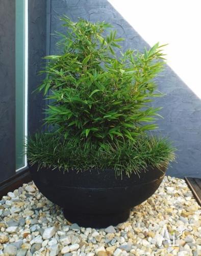 Rare! Lush Black Bamboo In Urban Designer Large Pot