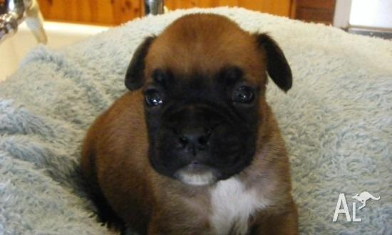 Red And White Boxer Puppies for Sale in ALBANY, Western Australia ...