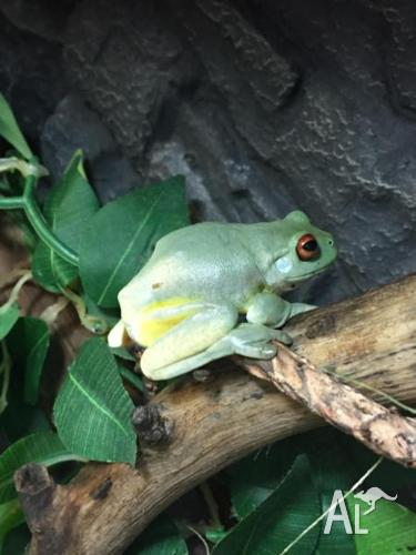 Red eye green tree frogs