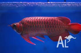 Red tail golden arowanas, super red arowanas