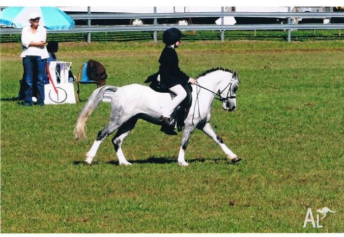Reg Welsh A Show Pony for Sale