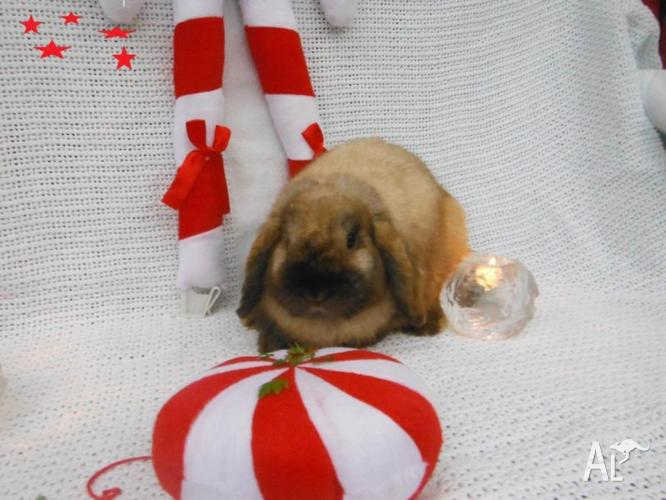 RESCUE ME MINI LOP BOY 2 YEARS YOUNG