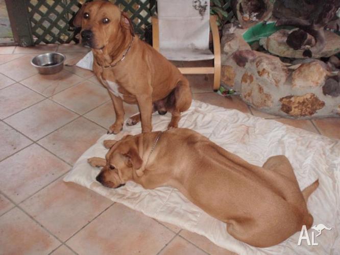 Ridgeback/mastiff