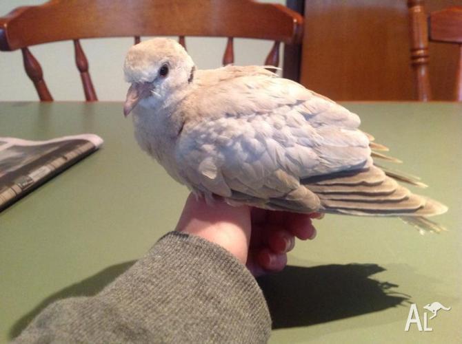 Ringneck dove bird for sale