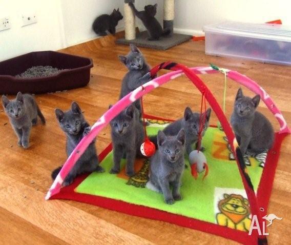 Russian blue kittens in SYDNEY