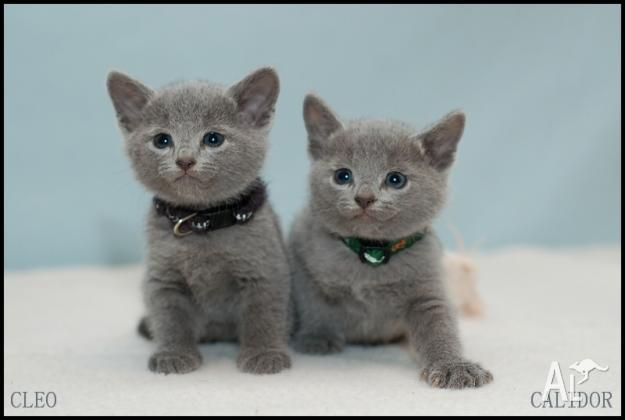 Russian blue kittens for Sale in ALICE SPRINGS, Northern ...
