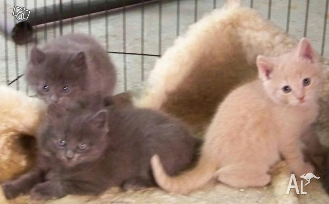 Russian blue x persian kittens