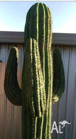 Saguaro Imitation Cactus for Sale