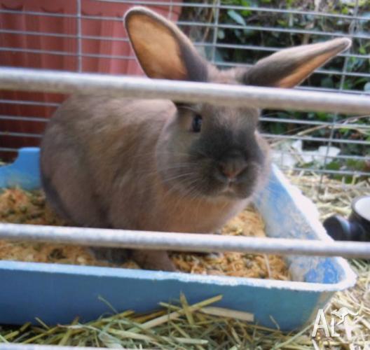 Satin cross rabbits. Urgent.