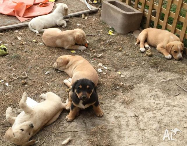 Seven Adorable Jack Russell cross Puppies for sale