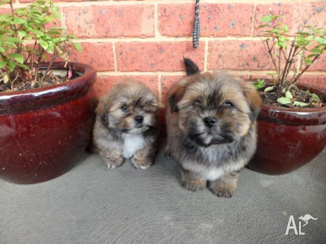 Shihtzu Cross Toy Poodle Puppies For Sale In Sunbury Victoria