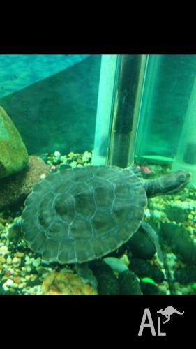 Short Neck Murray River Turtles FOR SALE! $80each