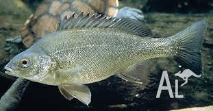 Silverperch, perfect native fish for aquaponics, pond