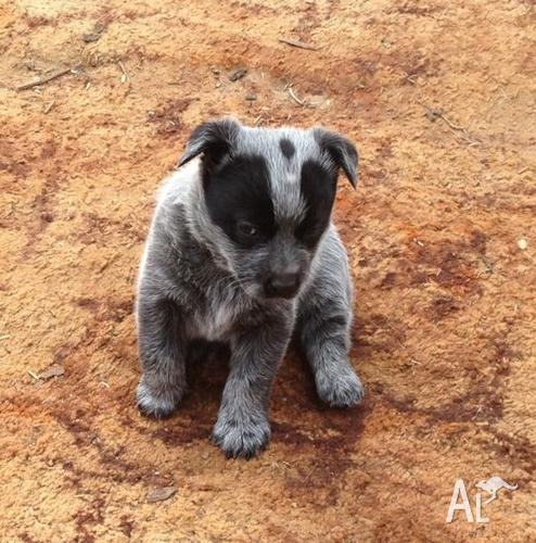 Dogs And Puppies For Sale South Australia