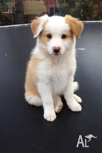 Collie Dogs For Sale Nsw