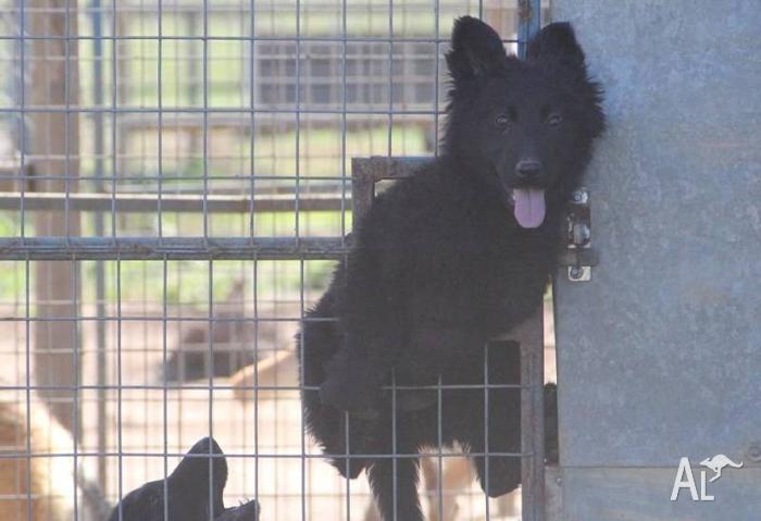 Solid Black Long Coat male German Shepherd Puppies for Sale