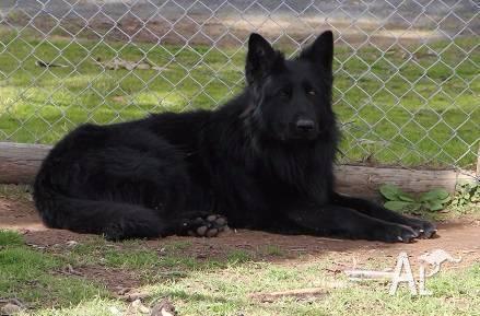 Buy Black German Shepherd Puppies For Sale Near Me In Victoria Australia