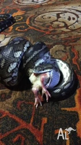 South West Carpet Python with cage and all accessories