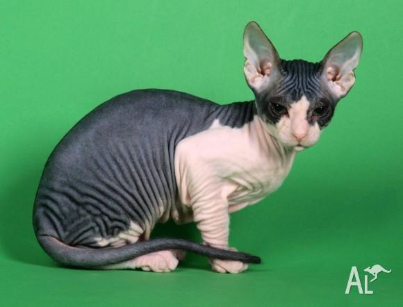 Sphynx Cats For Adoption In Australia