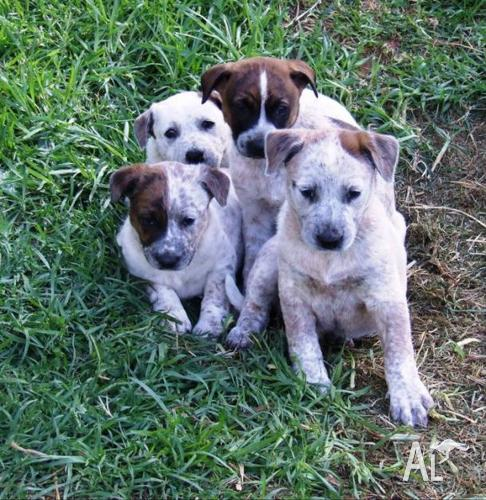 ... For Sale In Australia With Pups For Sale Puppy | Dog Breeds Picture