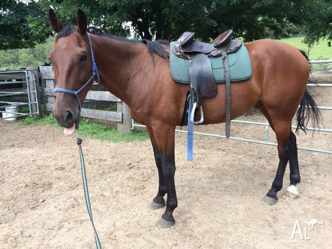 Standardbred Gelding - project horse
