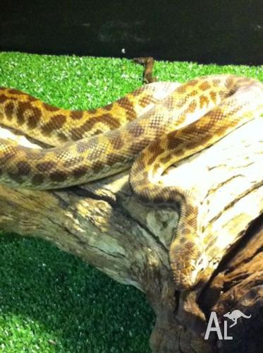 Stimpsons python Pair