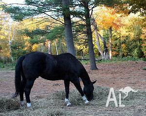stock horse amazing to do anything with
