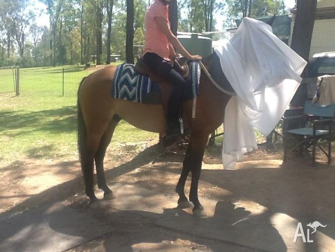 Stock horse gelding