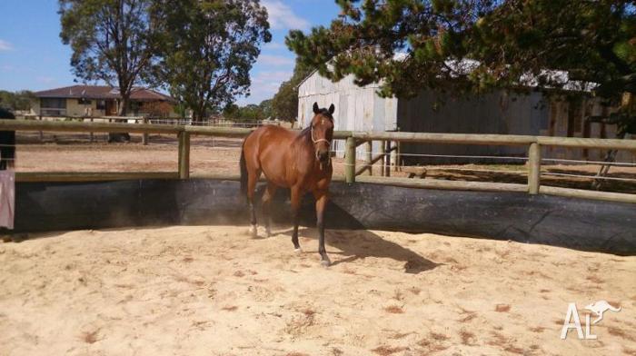 Stunning little 2yo ASB registered TB gelding