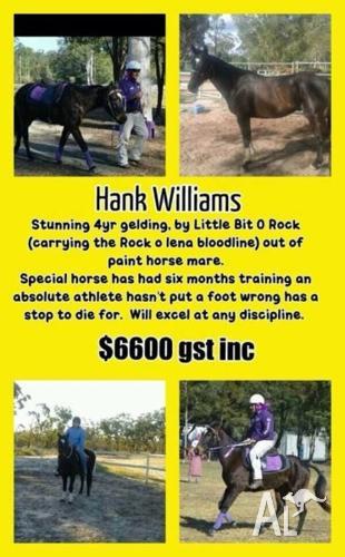 Stunning QH xGelding Hank Williams