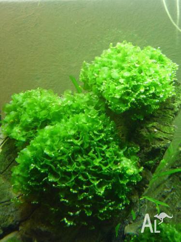 Subwassertang (freshwater seaweed)