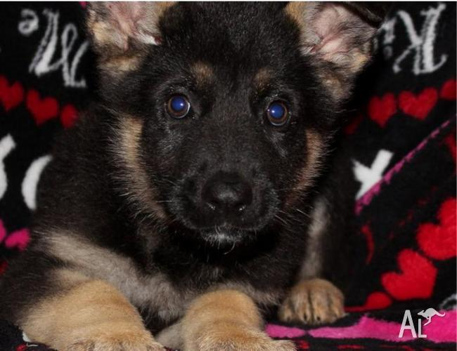 German shepherd puppies for sale in TAYLORS HILL, Victoria for sale