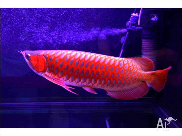 discus fish for sale townsville - Red Arowana fishes also available for sale for Sale in ...