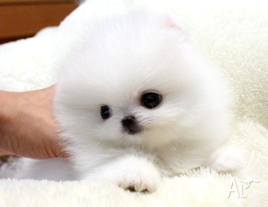 Super Tiny Teacup Akc Toy Pomeranian Puppies For Adoption For Sale