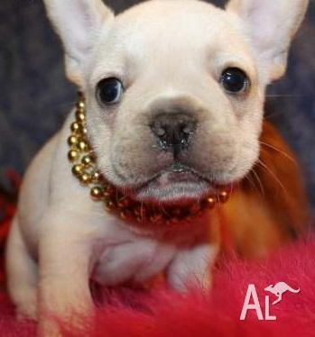 Tamed Purebred Akc Reg French Bulldog Puppies