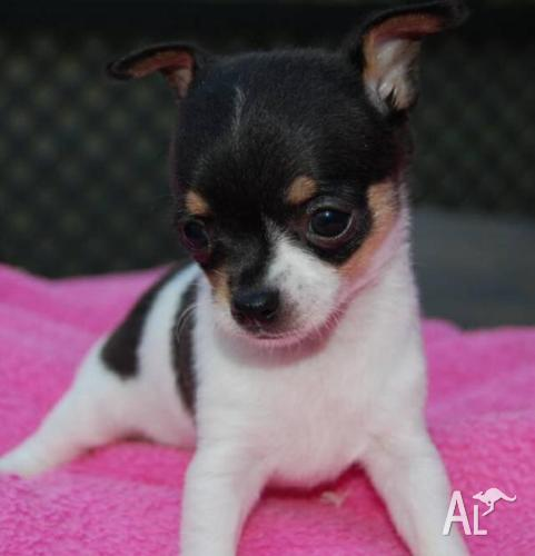 Teacup and Tiny Chihuahua Puppies For Sale for Sale in