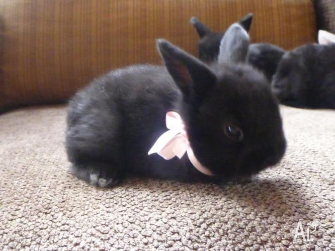 Three very very cute mini lop