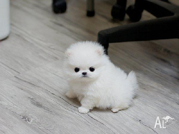 tiny micro teacup pomeranian puppies for sale in rockhampton queensland classified. Black Bedroom Furniture Sets. Home Design Ideas
