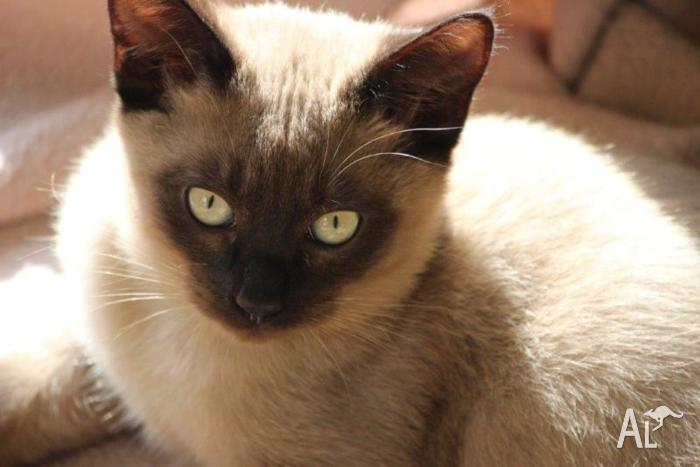 Tonkinese Kittens - Ready Now for Sale in BELMONT, Victoria