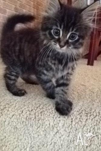 Tortoiseshell male kitten