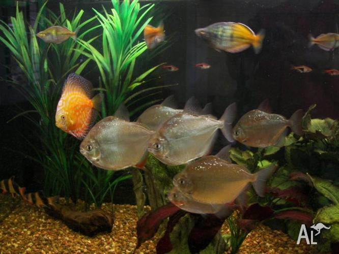 Tropical fish for sale discus silver dollars clown for Silver dollar fish for sale