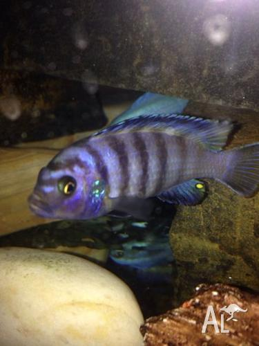 Tropical fish for sale adelaide for Pet fish for sale