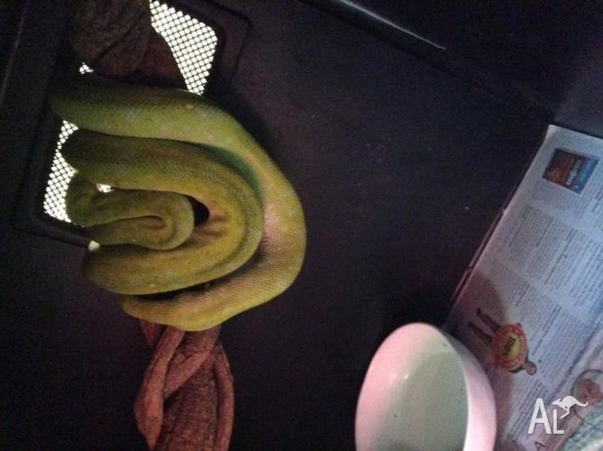Two Females and one male green tree python