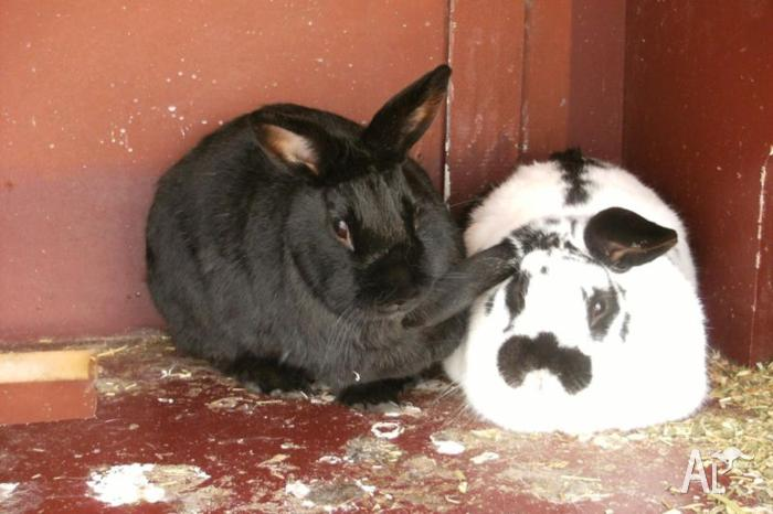 Two Rabbits with accessories for sale
