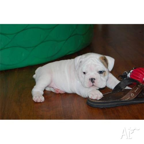 TWO WHITE ENGLISH BULLDOG PUPPIES FOR ADOPTION for Sale in