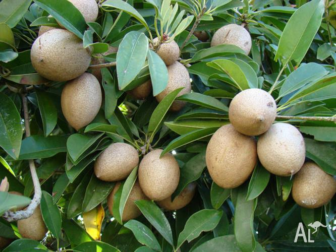 Unusual Exotic Fruit Trees and Plants