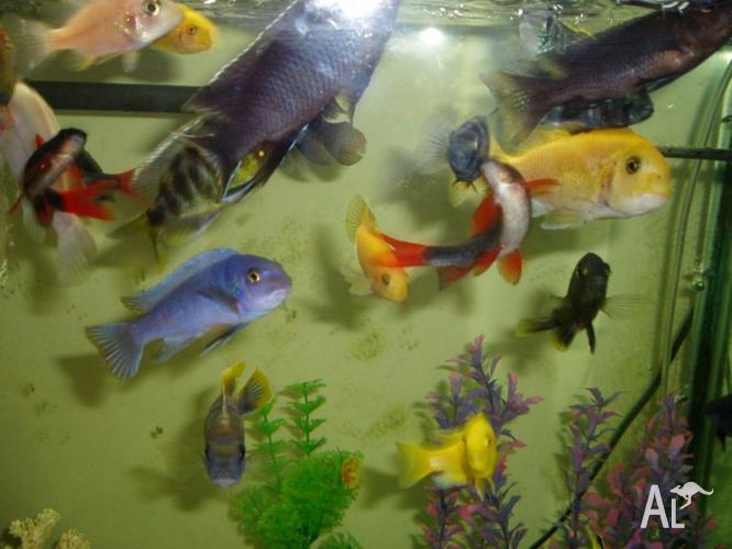 variety of chichlids tropical fish