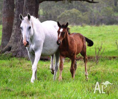 Warmblood broodmare Grey