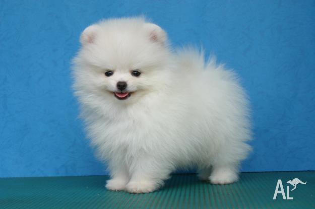 we have lovely Pomeranian puppies
